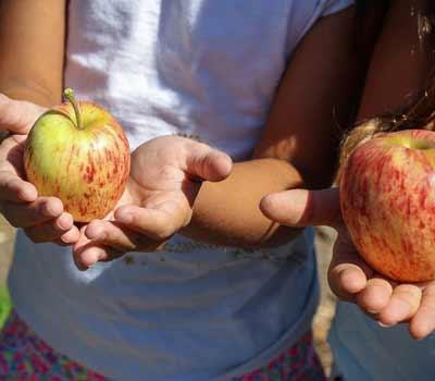 closeup of children's hands holding apples