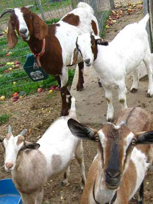 Four brown and white spotted goats standing in their play area.