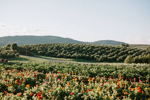Green hills of apple trees and mountains with a field of zinnia flowers.