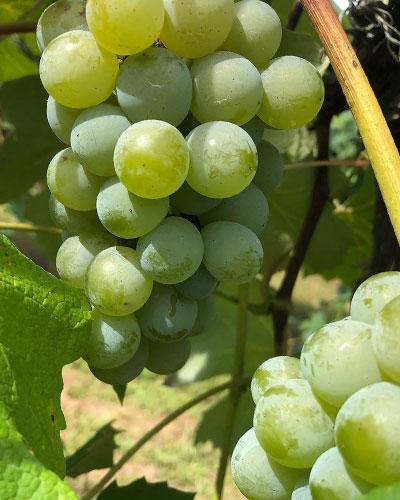 Niagara grapes on a vine