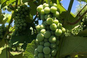 Picking-Grapes