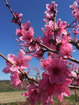 A closeup of bright pink plum blossoms on branches