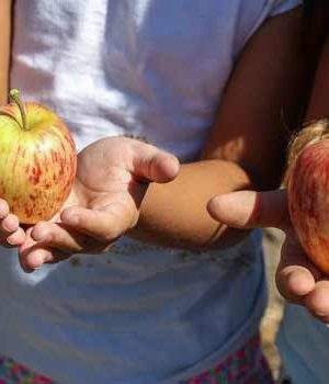 closeup of children's hands holding apples