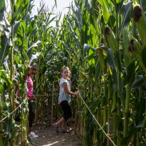Two children venture through a corn maze.